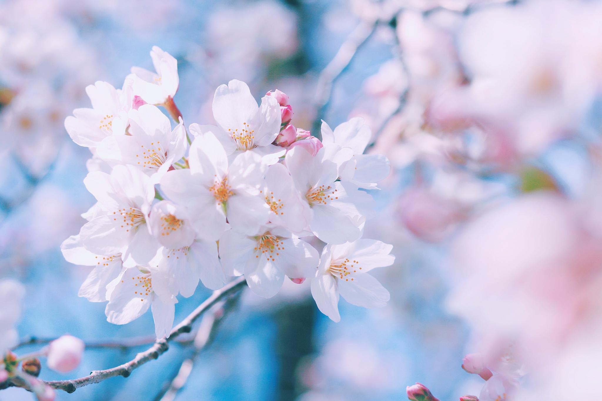 桜(色合わせ用)